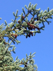 pine cone lade bough